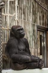 Western lowland gorilla in captivity - sad expression