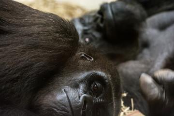 Pair of gorillas