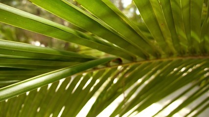 Palm Leaves of Coconut Palm Tree. Slow Motion.