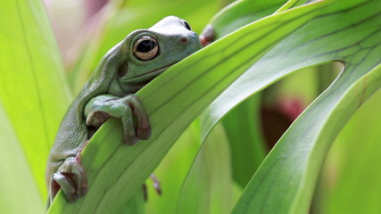 Australian Green Tree Frog on a leaf.