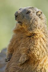 marmot on a medow