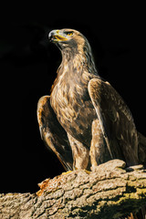 Aquila chrysaetos - eagle