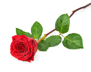 Red Rose with Leaves Isolated on White Background.