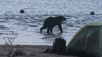 Bear in  campsite