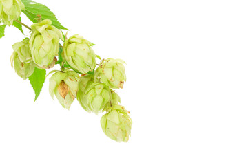 Flower of hop.