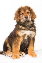 little security guard -  red puppy of Tibetan mastiff