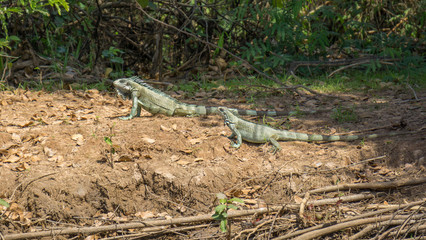 Iguanas couple in riverbank of Brazilian Pantanal
