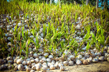 Stack of the coconuts in farm for coconut oil industry