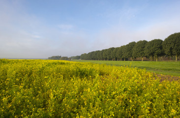 Rapeseed growing on a field at fall