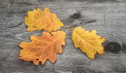 Oak leaves on wooden table