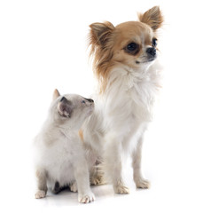 chihuahua and siamese kitten
