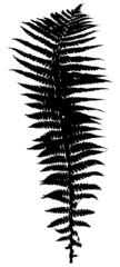 single black fern leaf silhouette on white