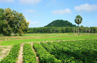 agricultural farm,  Pachyrhizus field, palm tree, moutain