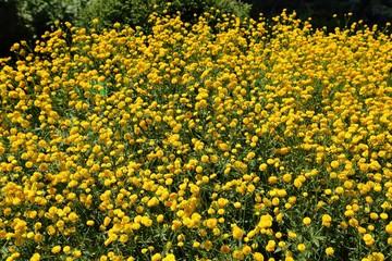 Ranunculus, buttercups.