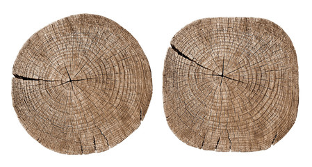 Cross section of tree trunk showing growth rings on white