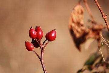 Красные плоды шиповника
