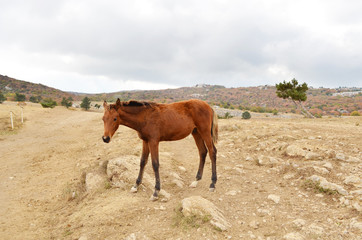 young brown horse on a background of mountains