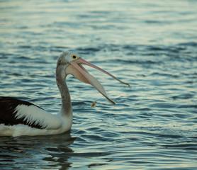Pelican catching food with his beak