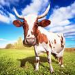 One cow graze on green meadow