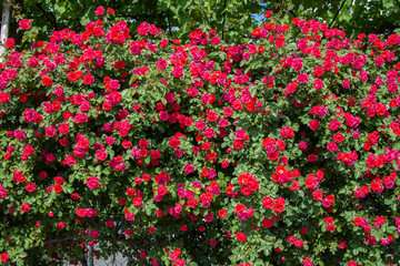 Bush of roses on bright summer day