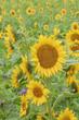 canvas print picture - Sonnenblumenfeld bei Regen