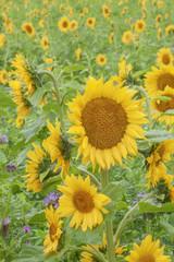 Sonnenblumenfeld bei Regen