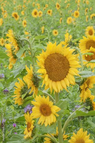 canvas print picture Sonnenblumenfeld bei Regen