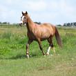 Nice chestnut horse running on meadow