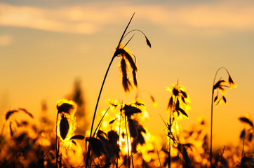 Cotton grass in the rays of the setting sun