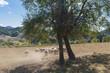 Sheeps in the rural fields