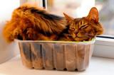 Somali cat inside box
