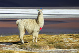 Alpaca in Salar de Uyuni, Bolivia desert