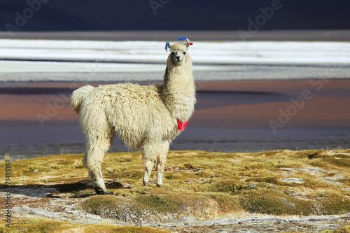 Aluminium Lama Alpaca in Salar de Uyuni, Bolivia desert