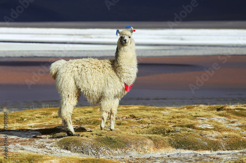 Foto op Plexiglas Lama Alpaca in Salar de Uyuni, Bolivia desert