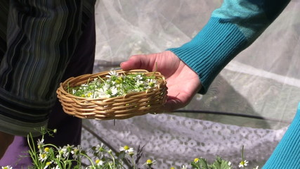 close up of hand pick medicinal camomile flower in wicker plate