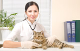 Fototapeta Vet listens stethoscope cat breed Scottish Straight