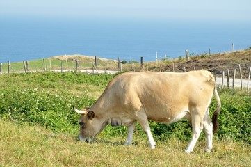 Vaca Isla 5585