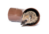 Small forest hedgehog, gets out of the drainpipe poster
