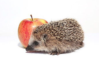 Small forest hedgehog with a big red apple