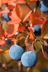 fresh bog bilberry