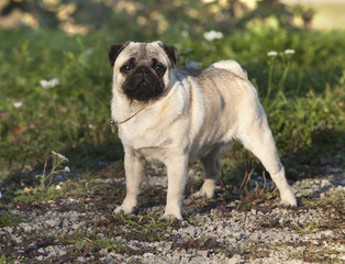 Close-up of Pug on the green grass i