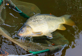 Fishing catch. The Common Carp ( Cyprinus Carpio ).