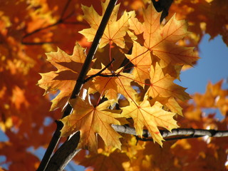 Acer platanoides (Norway maple) fall foliage
