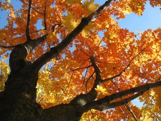 Acer platanoides (Norway maple) autumn foliage