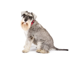 Picture of a miniature schnauzer sitting on a white background