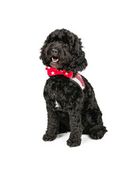 Picture of a Black Cockapoo sittingon a white background.