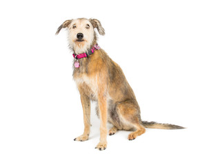 Picture of a terrier cross whippet sat on a white background