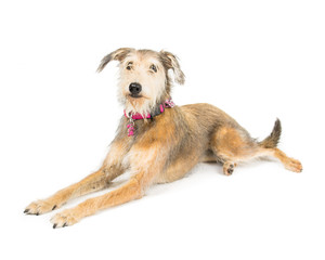Picture of a terrier cross whippet laying on a white background