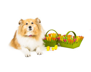 Picture of a shetland sheepdog sitting next to easter baskets