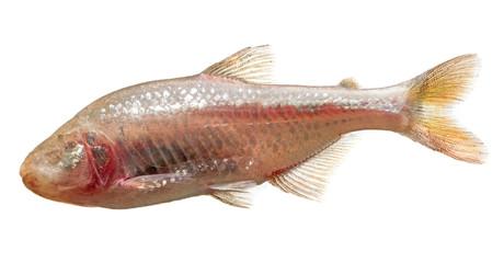 Astyanax fasciatus mexicanus - blind cave mexican tetra